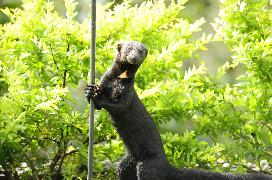 A rare spotting of a Tayra, a mammal found in Costa Rica