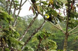 Keel-billed Toucan in a Cecropia Tree - photo taken from the deck of Casa Gavilan!